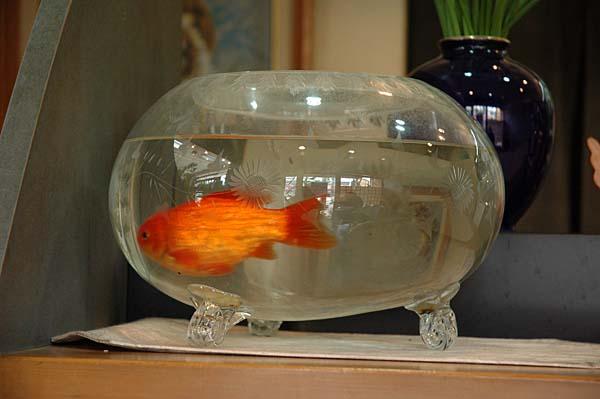 240000 kitakyushu goldfisch in tobata. Black Bedroom Furniture Sets. Home Design Ideas